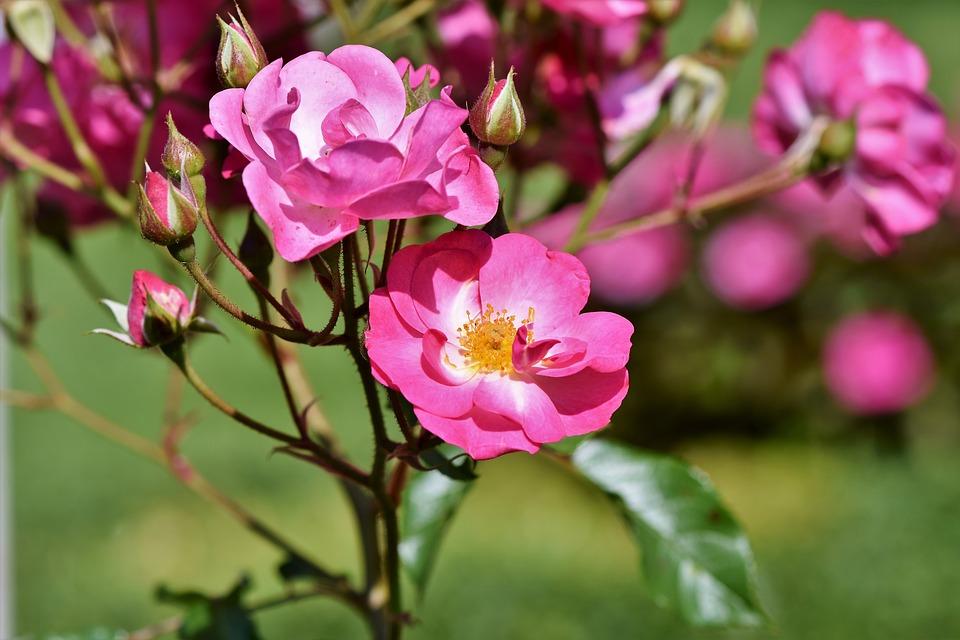 Wild rose: la flor de la apatía   Blog IGEM   Institut Guxens de Medicina Integrativa